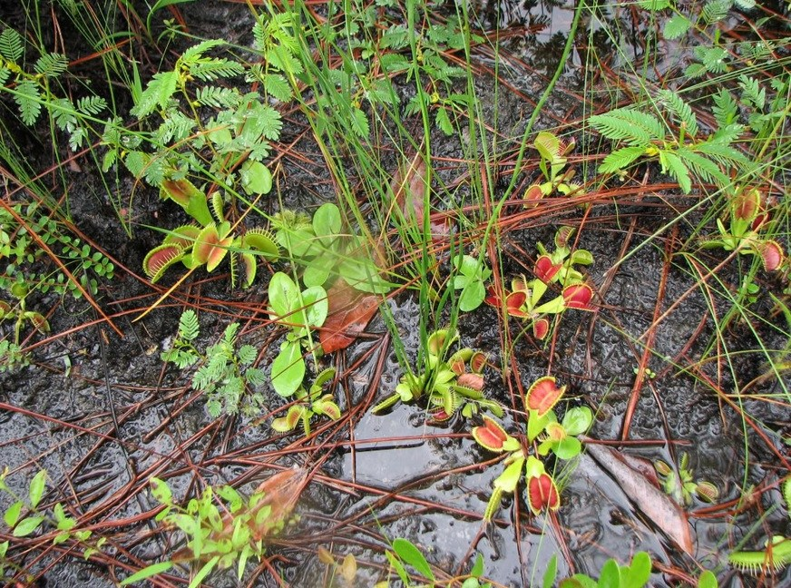 Carnivorous plants habitat