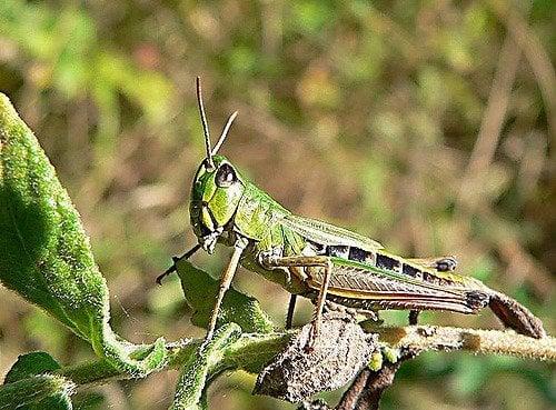 Killing Grasshoppers