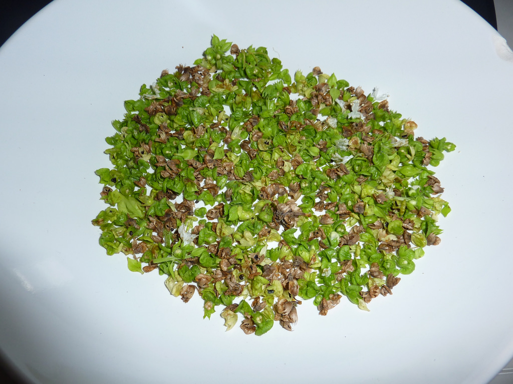 Basil seeds with pod fragments