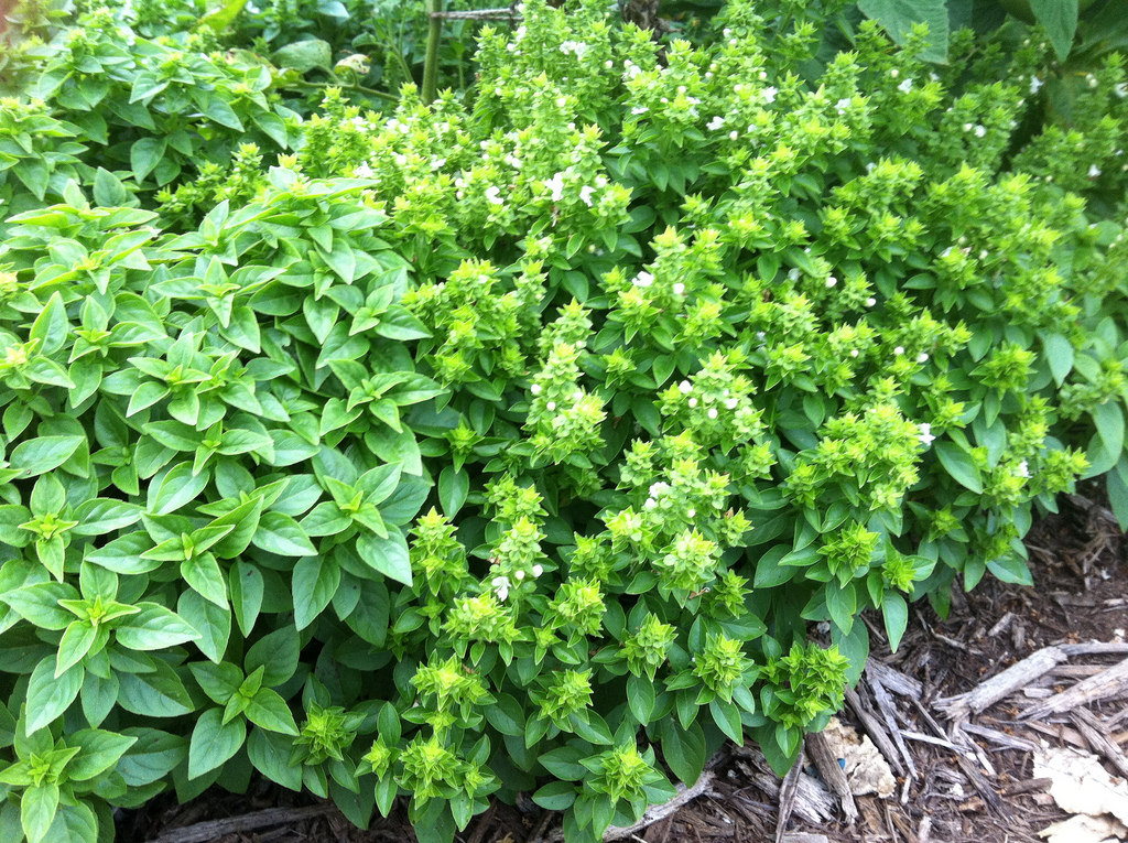Basil with and without flower stalks