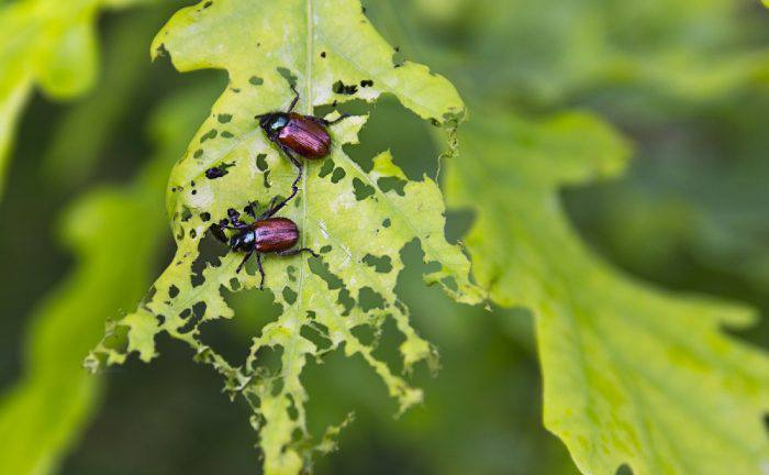 how to get rid of sunflower beetles