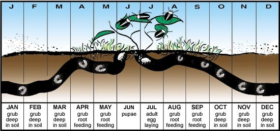 Life Cycle of Japanese Beetles
