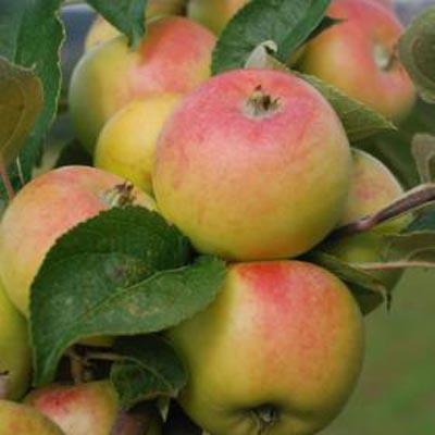 Lady Apple