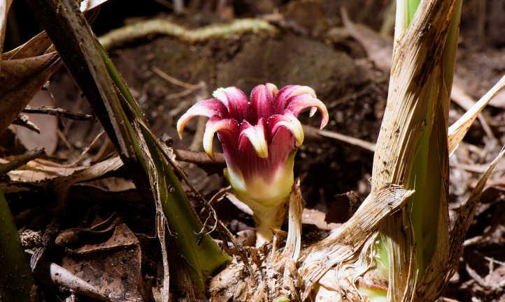 Cast iron plant flower