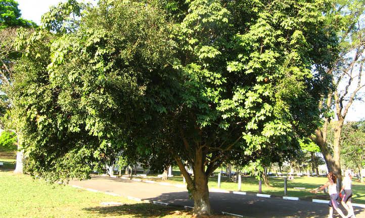 Full sized money tree