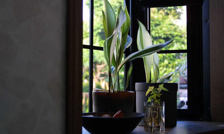 Indoor cast iron plant