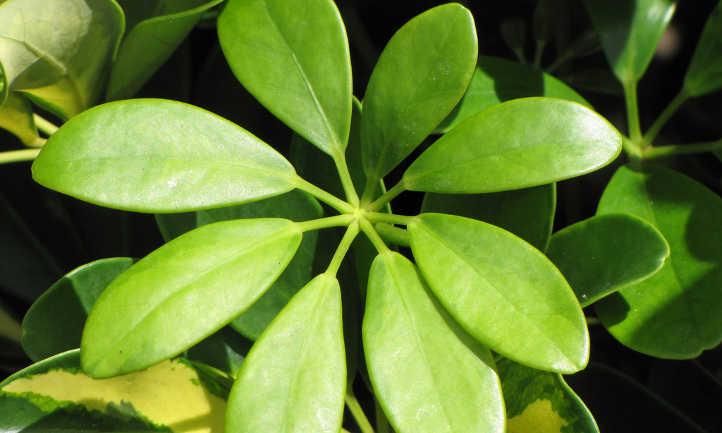 Umbrella tree leaves
