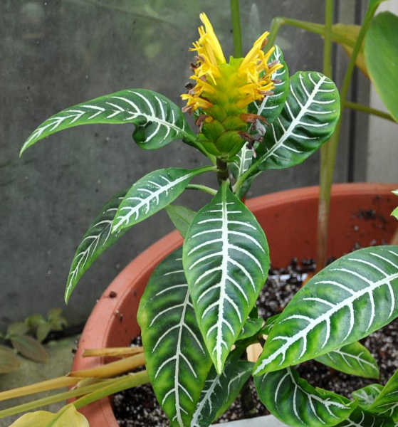 Potted zebra plant with flowers