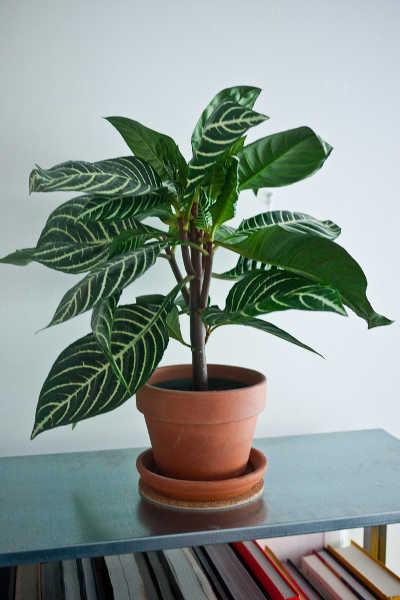 Potted zebra plant