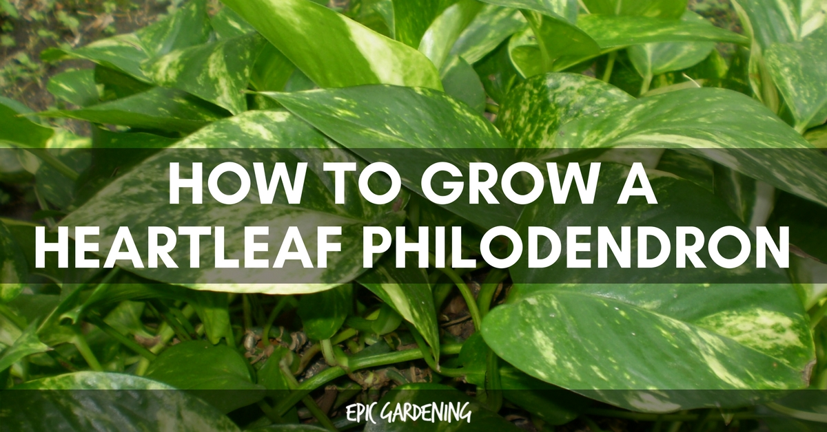 Heartleaf Philodendron Care – Growing The Sweetheart Plant