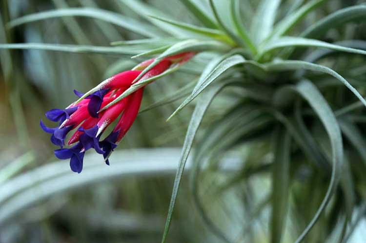 Cactus Bromeliad Air Plant 10+ Seeds Tillandsia fendleri Succulent