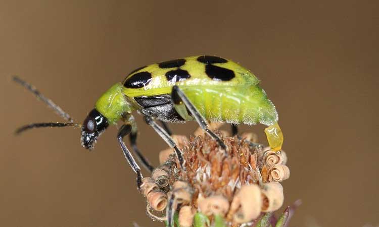 Cucumber beetle laying egg