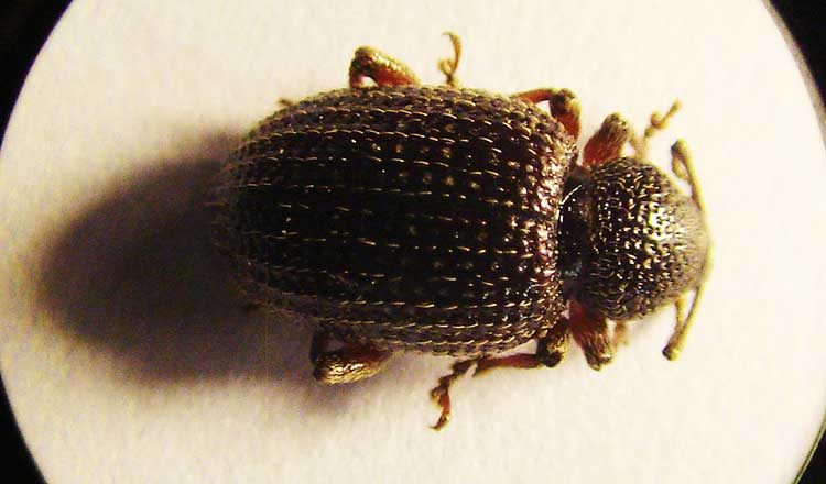 Epitrix fuscula or Eggplant flea beetle