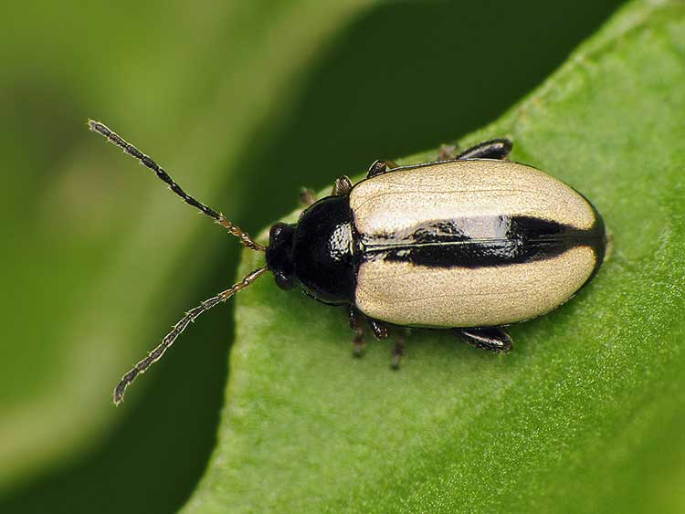 Phyllotreta armoraciae or Horseradish flea beetle