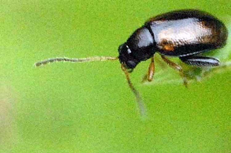 Phyllotreta cruciferae or Crucifer flea beetle
