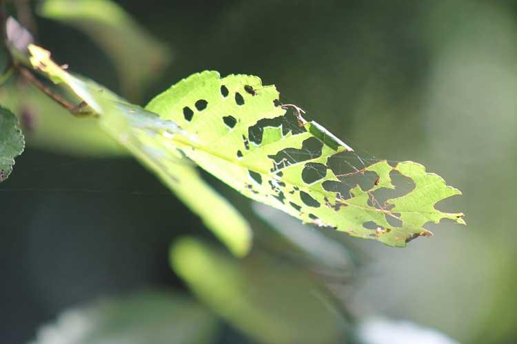 Flea beetle damage on alder leaf.