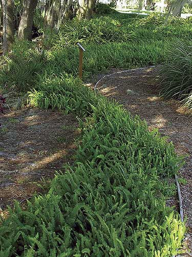 A bed of Nephrolepis exaltata