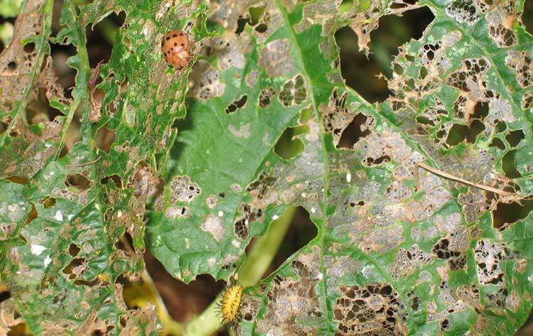 Mexican bean beetle damage