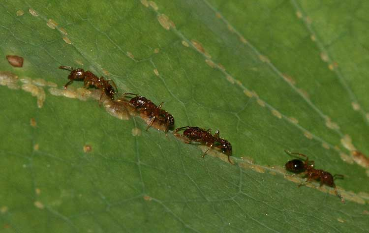 Ants tending scale insects
