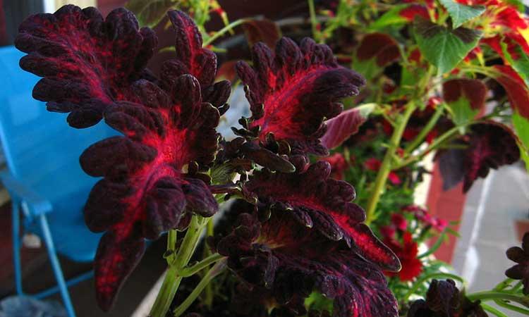 Coleus 'Black Dragon'