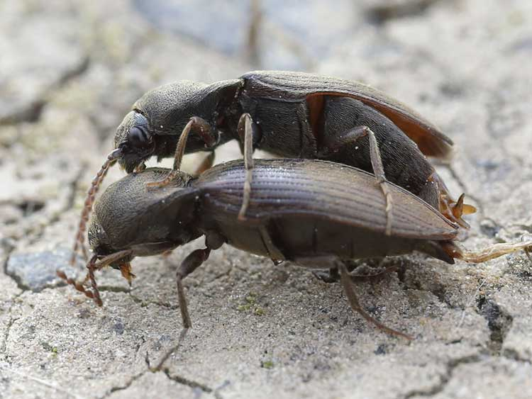 Common click beetle (Agriotes sputator)