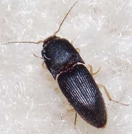Gulf Wireworm as an adult.