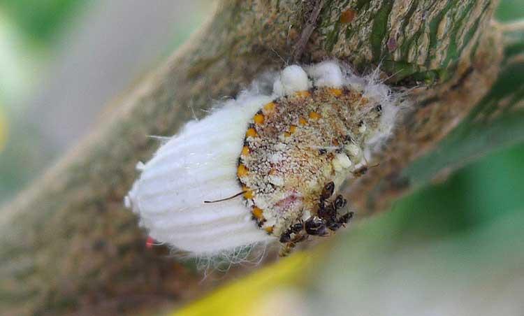 Margarodidae 'Icerya purchasi' or 'cottony cushioned scale'