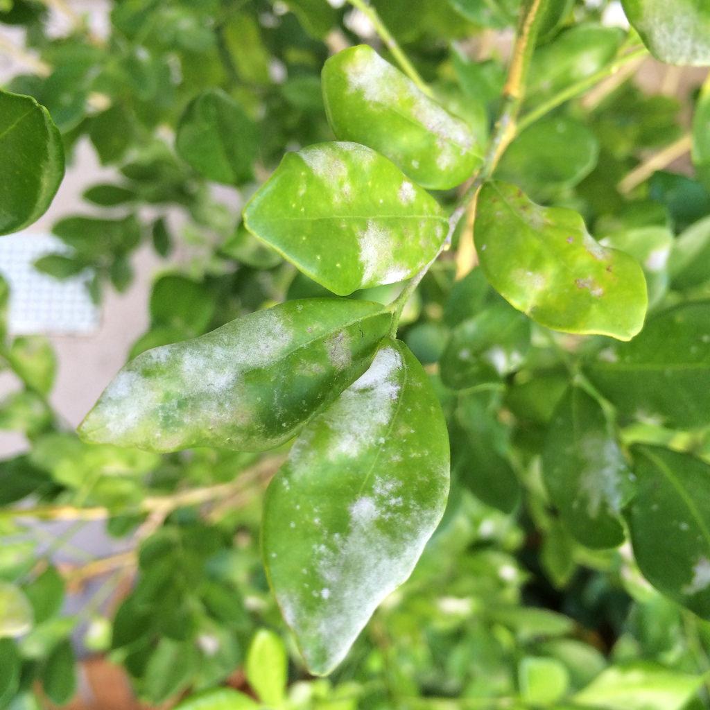 Powdery mildew on hedge