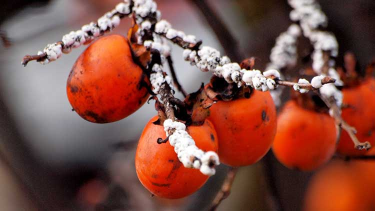 Scale on persimmon tree