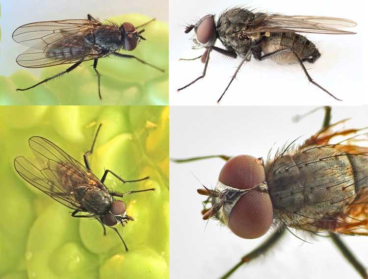Delia platura fly