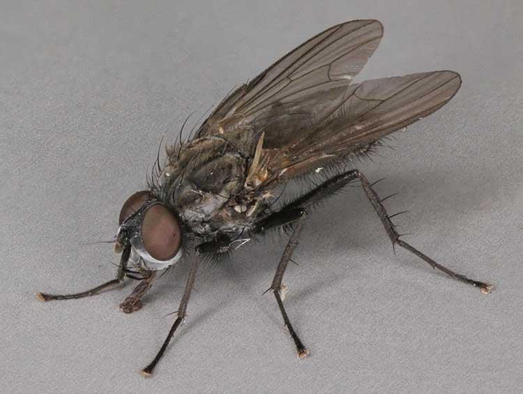 Delia radicum fly