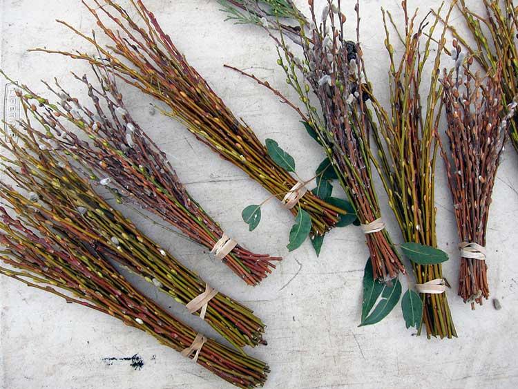 Salix discolor bundles
