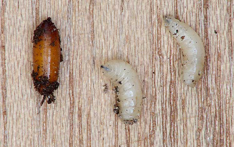 Delia radicum maggots and pupa