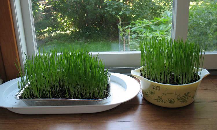 Five days of wheatgrass growth