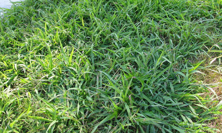 An area taken over by crabgrass