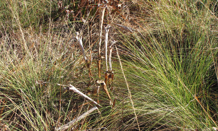 Dormant pitcher plants