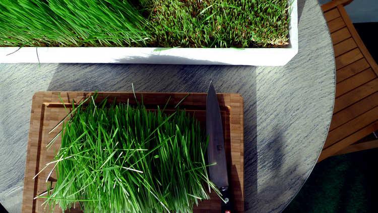 Freshly cut wheatgrass