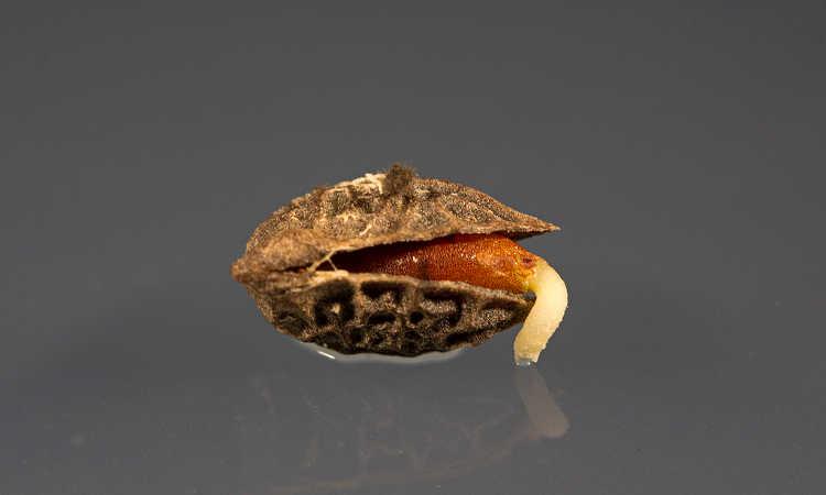 Amborella seed germinating