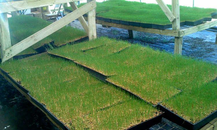 Growing wheatgrass in trays