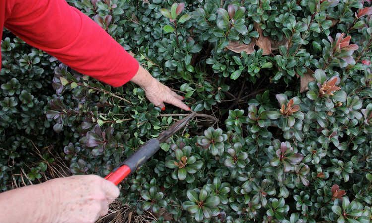 Pruning shrubbery