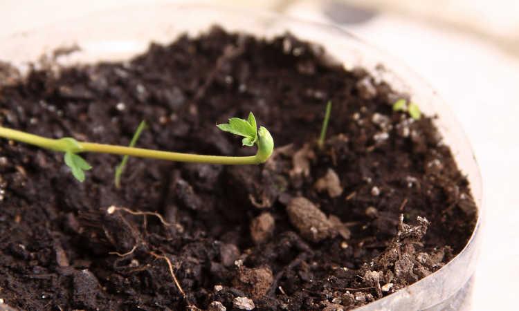Strawberry runner looking for fertile soil