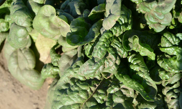 Spinach leaves collecting dust