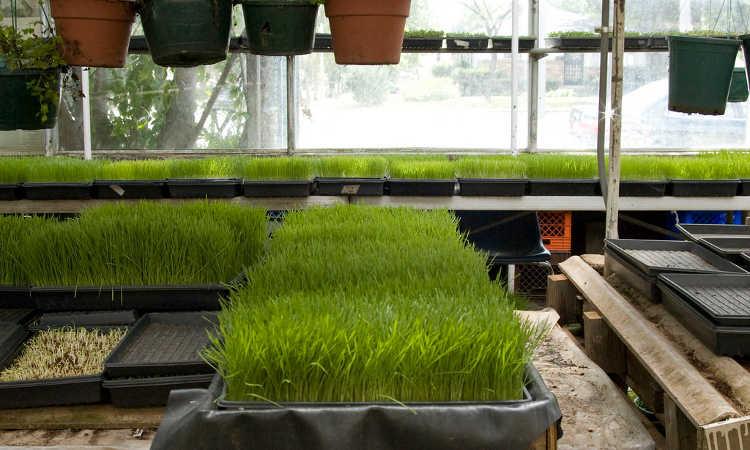Trays of wheatgrass