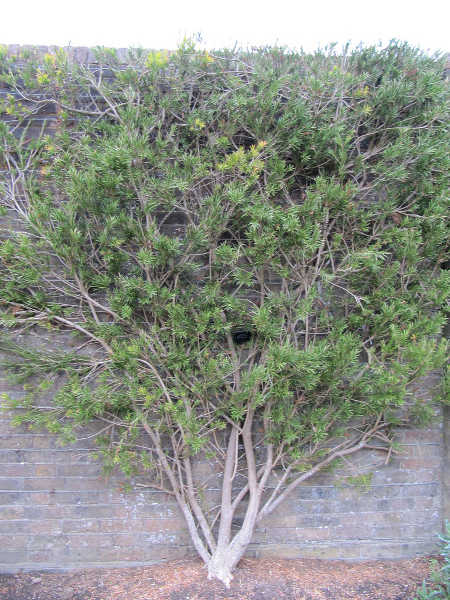 Callistemon linearis trained to wall