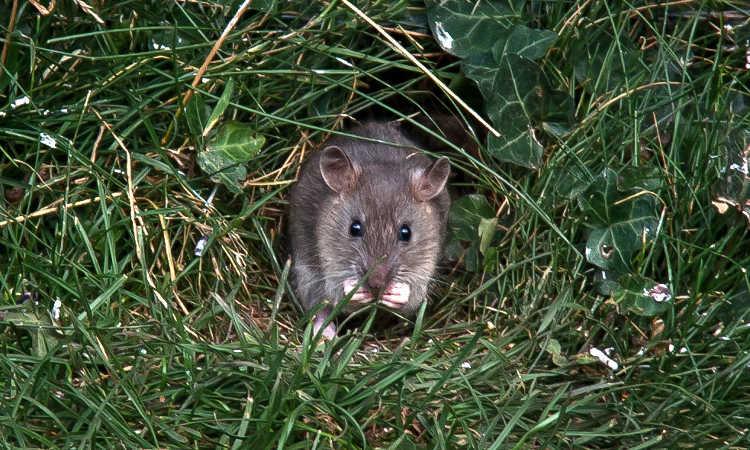 Rat Proof Garden