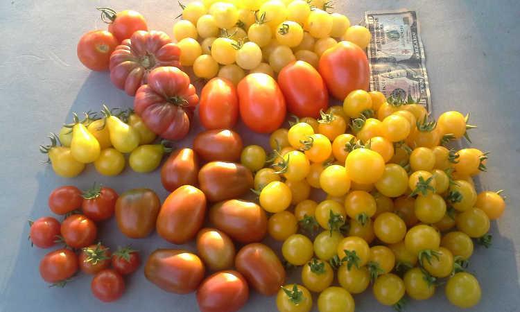 Great tomato harvest