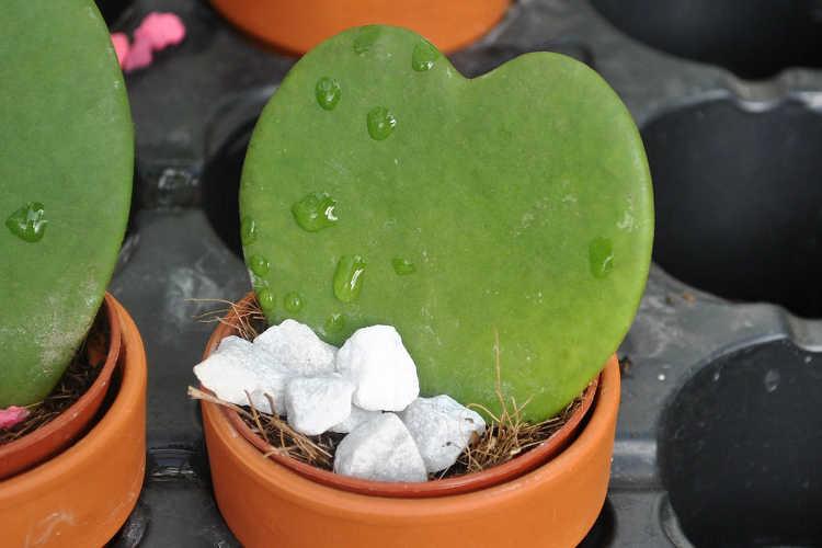 Hoya kerrii leaf