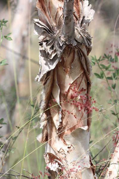 Melaleuca nervosa bark