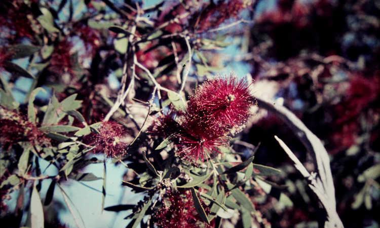 Melaleuca nervosa red flowers