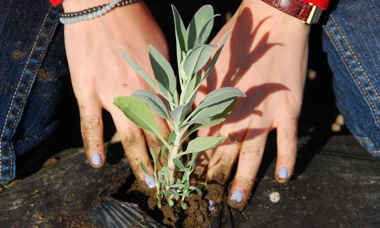 Planting white sage